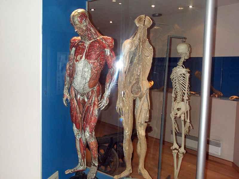 Musée de l'Ecorché d'Anatomie, Le Neubourg © Musée de l'Ecorché