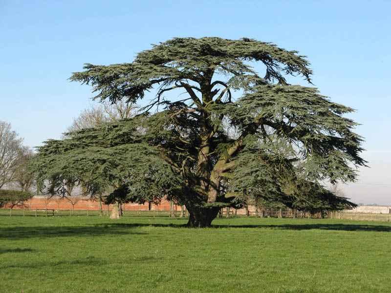 Cèdre du Liban, arboretum de Canappeville © Association des Amis des Campagnes de France